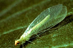 A Lacewing adult displays the wings that give the insect its name