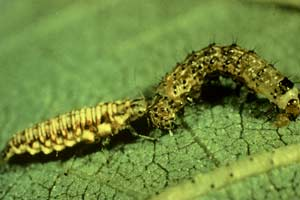 The lacewing larva knows no fear