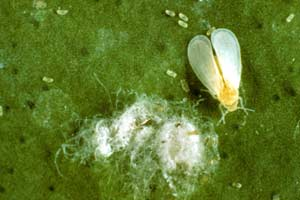 Whiteflies are easy prey