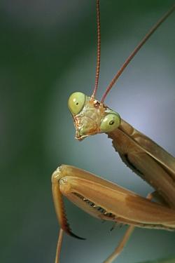 A mantis is interested in you!
