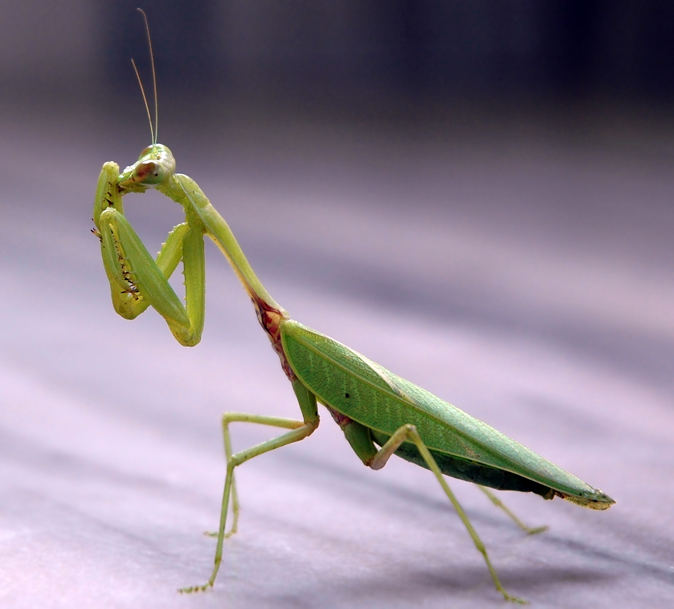 This mantis is grooming itself