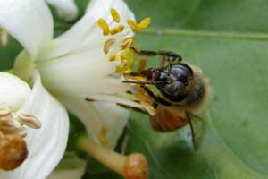 This bee is searching for food on this beautifully scented orange blossom