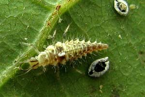 A lacewing larva attacks an aphid